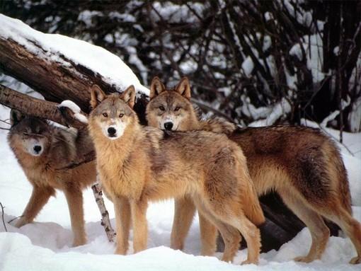 """Lupi in montagna, Preioni e Dago: """"I territori montani hanno ragione: serve un vero contenimento"""""""