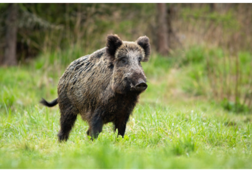 """Danni animali selvatici, Coldiretti:  """"Regione intervenga rapidamente sul contenimento invece di pensare a filiere delle carni"""""""