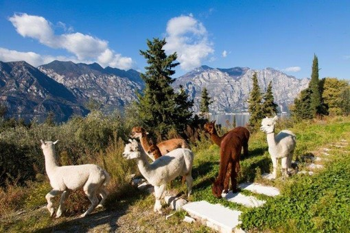Petsfestival 2021: vieni a conoscere l'alpaca