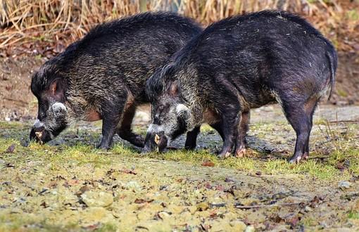 """Coldiretti Piemonte: """"Bene i controlli sulla carne di cinghiale"""""""