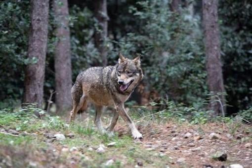 Al via il bando regionale  per il risarcimento dei danni causati dai lupi