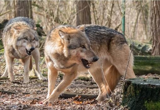 Allevatori piemontesi, bando della Regione per proteggersi dai lupi