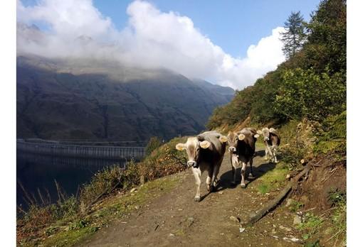 Transumanza di San Giovanni: 165 mila i bovini saliti agli alpeggi piemontesi